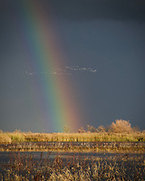 A fierce rain storm arrived, unusual for California, and brought a magnificent rainbow with it.  I waited for the Snow Geese to fly through ithe rainbow and captured this moment in time.  It was photographed at the Merced National Wildlife Refuge in California.
