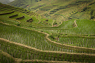 Lush green terraced rice fields cover the mountainous landscape, Sapa area, Lao Cai Province, Vietnam, Southeast Asia