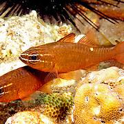 Moluccan Cardinalfish inhabit sheltered reefs. Picture taken Philippines, Dumaguete.