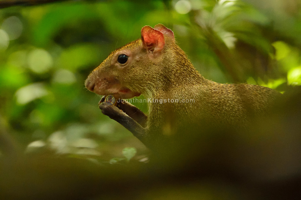 A Central American Agouti (Dasyprocta punctata) foraging for food on Barro Colorado Island, home to the Smithsonian Tropical Research Institute, Panama.