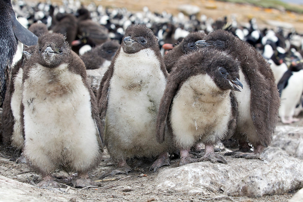 A group of Rockhopper Penguin (Eudyptes chrysocome) - youngsters cluster together for warmth and protection within a colony in the Falkland Islands