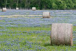 Bluebonnets in field, Ennis, Texas USA. Tentative ID.