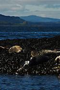 Oban, Scotland Seals