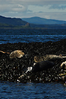 """A seal colony close to Oban, a city on the west coast of Scotland known as """"Scotland's seafood capital"""""""