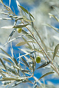 Close up of olive tree branches with leaves and green olives, Lesbos, Greece