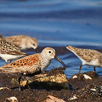 An adult dunlin (Calidris alpina) eats a horseshoe crab egg as it forages along with semipalmated sandpipers (Calidris pusilla) on the shores of the Delaware Bay, Port Mahon, Delaware.