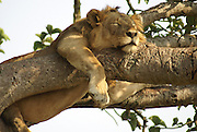 Lion sleeps on a tree. Photographed at the Queen Elizabeth National Park, Ishasha Sector, Uganda