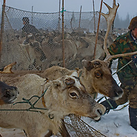 North of the Arctic Circle in Russia, Vasily Terentév, a nomadic Komi reindeer herder, drags a string of reluctant reindeer from a temporary pen to pull his mother's sleds.