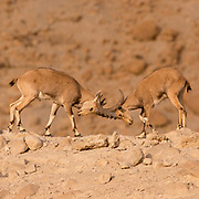 two juvenile Nubian Ibex (Capra ibex nubiana) locking horns. Photographed on the edge of the Ramon crater, Negev Desert, Israel