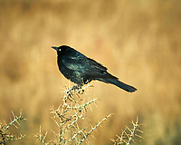 Brewer's Blackbird (Euphagus cyanocephalus). Alamosa National Wildlife Refuge, Colorado. Image taken with a Nikon D300  camera and 80-400 mm VR lens