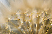 Dandelion family, Geropogon hybridus is native to the Mediterranean and adjacent areas. Photographed in Israel in March