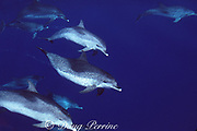 Atlantic spotted dolphins, Stenella frontalis, Azores Islands, Portugal ( North Atlantic )