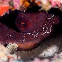 Octopus cyanea, Gray, 1849, Maldives