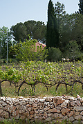 Israel, Judea Mountains, Grape vines in a vineyard