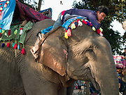 A mahout and his female Asian elephant ready for the procession at the annual Sayaboury elephant festival, Sayaboury province, Lao PDR. Originally created by ElefantAsia in 2007, the 3-day elephant festival takes place in February in the province of Sayaboury with over 80,000 local and international people coming together to experience the grand procession of decorated elephants. It is now organised by the provincial government of Sayaboury.The Elephant Festival is designed to draw the public's attention to the condition of the endangered elephant, whilst acknowledging and celebrating the ancestral tradition of elephant domestication and the way of life chosen by the mahout. Laos was once known as the land of a million elephants but now there are fewer than 900 living in the country. Around 470 of them are in captivity, traditionally employed by a lucrative logging industry. Elephants are trained and worked by a mahout (handler) whose relationship to the animal is often described as a marriage and can last a lifetime. But captive elephants are often overworked and exhausted and as a consequence no longer breed. With only two elephants born for every ten that die, the Asian elephant, the sacred national emblem of Laos, is under serious threat of extinction.