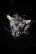 Portrait of a brown rat (Rattus norvegicus). Portland, Oregon. These rats are not native, but are european in origin and have followed human settlements around the world. Captive illustration.