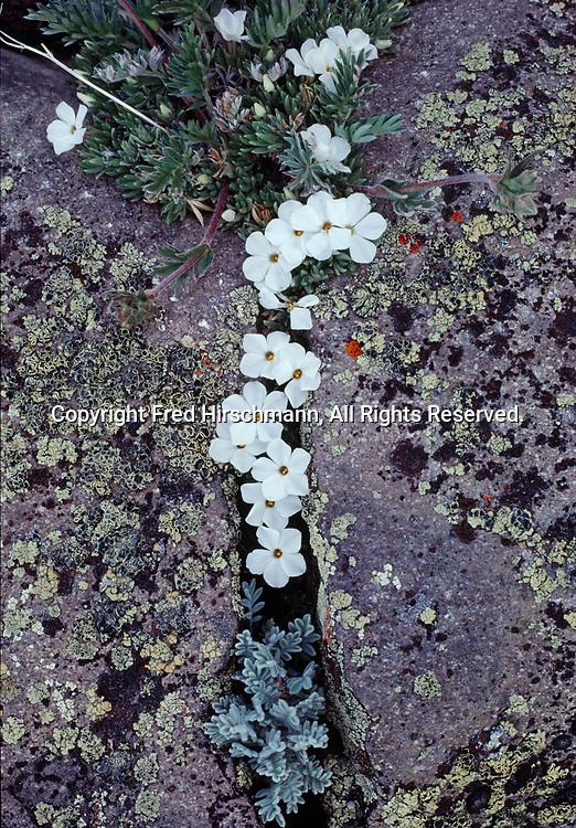 Many Flowered Phlox, Phlox multiflora, growing from crack between boulders, Mount Washburn, Yellowstone National Park, Wyoming.