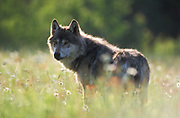 Timber or Grey Wolf, Canis Lupus, Minnesota USA, controlled situation, standing in meadow field, backlight by sun, summer