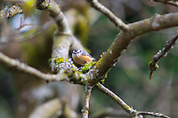 A red-breasted nutchatch perches in a maple tree on a warm spring Pacific Northwest day in Kent, Washington.