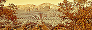 Sepia rendition of a panorama of wine country vinyard in Napa-Sonoma region of California