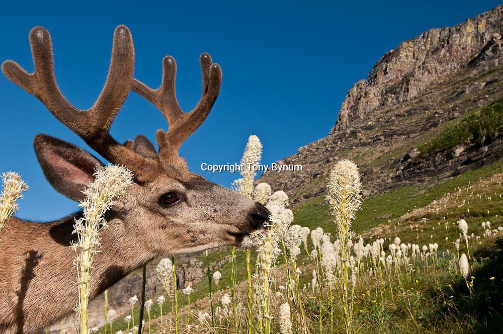 muledeer buck eating tall bear grass flowers close up alpine glacier national park