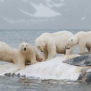 Polar bears feeding on the carcass of a fin whale. Svalbard, Norway