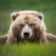 Adult grizzly bear walking amongst deadfall along the Cook Inlet, Alaska.
