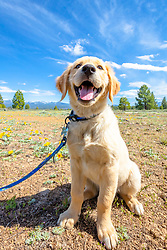 """""""Smiling Puppy in Truckee 2"""" - Photograph of a smiling Golden Retriever puppy near Prosser Reservoir in Truckee, California."""
