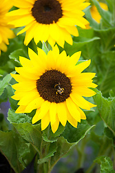 Helianthus annuus 'Micro-Sun' (Dwarf sunflower)
