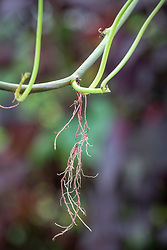 Showing roots growing from stems of sweet potato - Ipomoea batatas