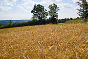 Ripening barley field, Bourton on the Water, The Cotswolds, Gloucetershire, United Kingdom
