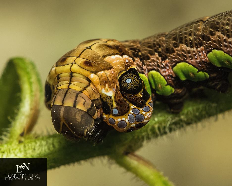 Eumorpha labruscae - goudy sphinx moth caterpillar.  Photographed in Groveland, Florida