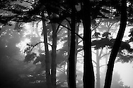 Trees become ghostly figures as evening fog creeps into the coastal woods of Big Sur
