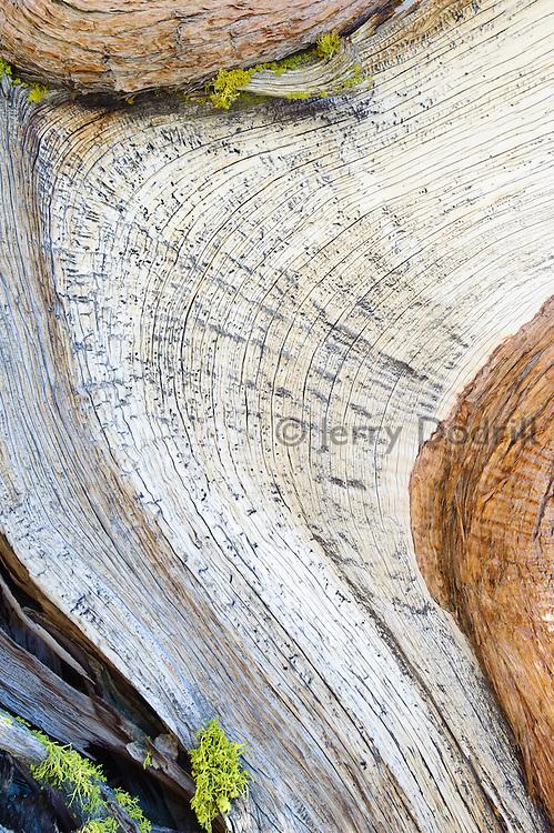 Western Juniper tree detail. Sonora Pass, High Sierra, California