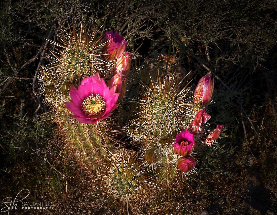 Cactus blossoms at San Tan Regional Park