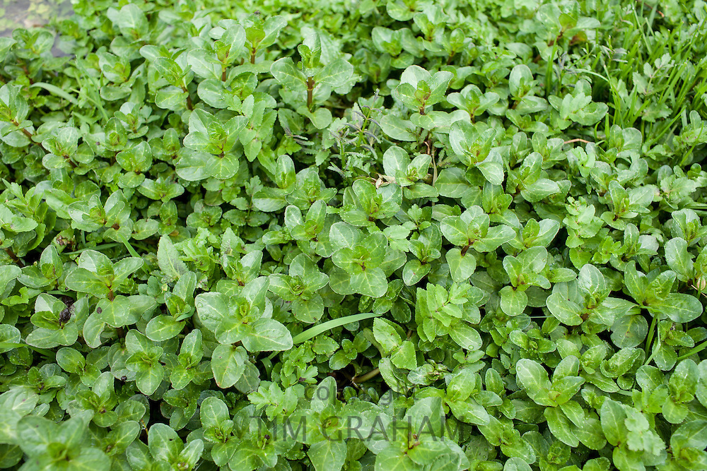 Wild Watercress growing in a watercress bed in a springwater stream  at Swinbrook, the Cotswolds, UK