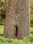 Massive Valley Oak in Spring, Pinnacles National Park, California