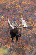 Alaskan bull moose in habitat