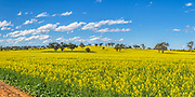 trees on hill overlooking canola crop under clouds near Erin vale, New South Wales, Australia. <br /> <br /> Editions:- Open Edition Print / Stock Image