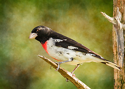 Bursting with black, white, and rose-red, male Rose-breasted Grosbeaks are like an exclamation mark at your bird feeder or in your binoculars