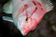 Bodianus unimaculatus (female) Red pigfish