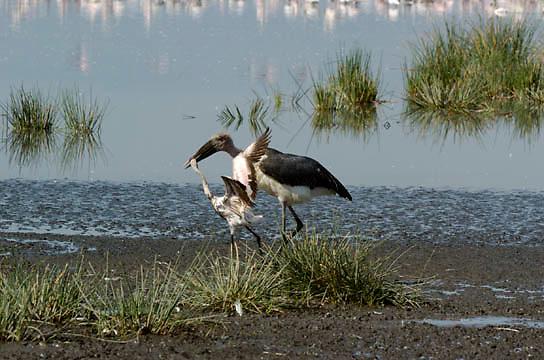 Marabou Stork (Leptoptilos crumeniferus) Stork ready to kill and feed on weak flamingo chick. Lake Nakuru National Park. Kenya. Africa.