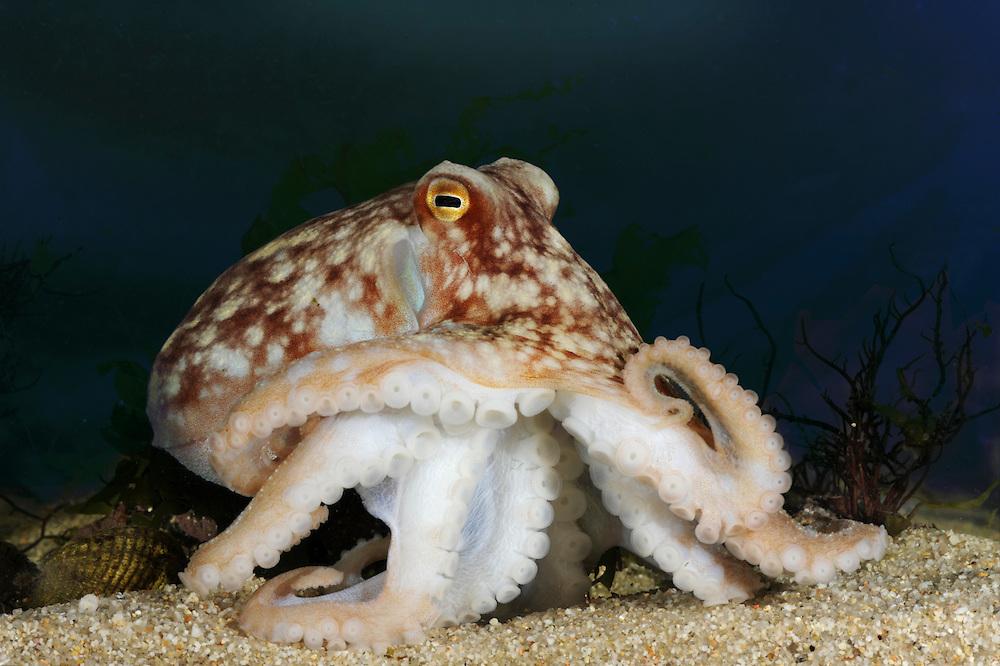 Curled Octopus - Eledone cirrhosa