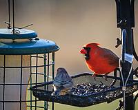 Cardinal. Image taken with a Fuji X-H1 camera and 200 mm f/2 lens + 1.4x TC