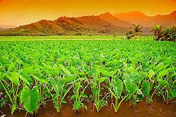 Taro or Kalo plant fields, Colocasia esculenta, (corms are harvested and mashed to make Hawaiian Poi), serving as Hawaiian waterbird sanctuary, Hanalei National Wildlife Refuge, Kauai, Hawaii
