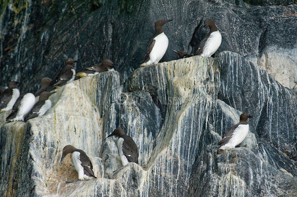 Common Guillemots (Uria aalge) nesting in a cave at the island of Runde, north-western Norway.