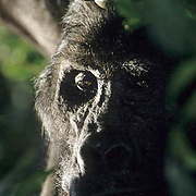 Eastern Lowland Gorilla, (Gorilla gorilla graueri) Portrait. Rain forest of eastern Zaire. Africa.