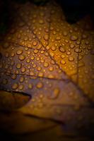 Oak leaf covered in rain drops.
