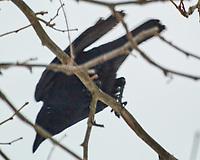 American Crow (Corvus brachyrhynchos). Image taken with a Nikon N1V3 camera and 70-300 mm VR lens.