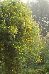 Clematis orientalis growing on a pergola in autumn